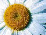 Daisy Detail - Mosaic Tile Art