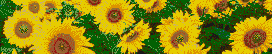 Sunflowers - Mosaic Tile Art