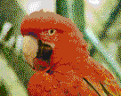 Red and Green Macaw - Framed Mosaic Wall Art